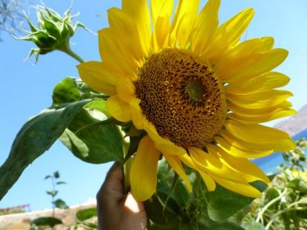 P1020109betty-manousos-sunflower3